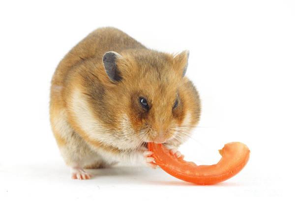 Golden Hamster Photograph - Hamster Eating Tomato by Jane Burton