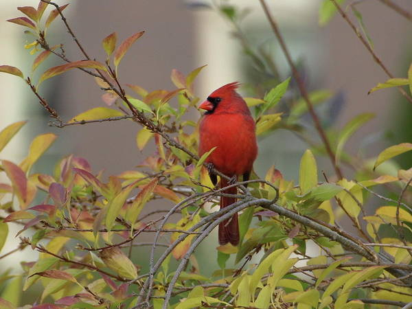 Photograph - Handsome Cardinal by Jeffrey Peterson