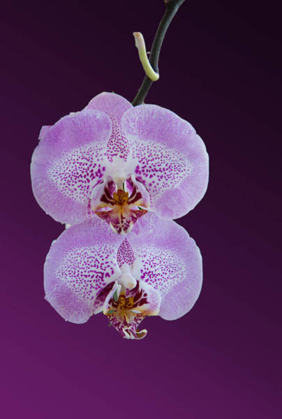 Hanging Orchids Art Print