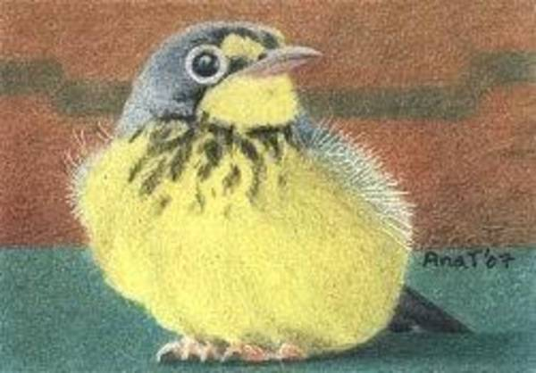 Drawing - Happy Birdie - Aceo by Ana Tirolese