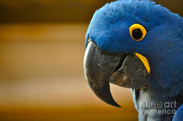 Hyacinth Macaw Photograph - Happy Hyacinth by Gwyn Newcombe