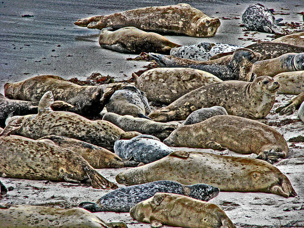 Photograph - Harbor Seals Resting by Samuel Sheats