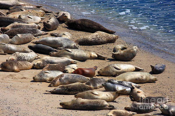 Half Moon Bay Photograph - Harbor Seals Sunbathing On The Beach . 40d7553 by Wingsdomain Art and Photography