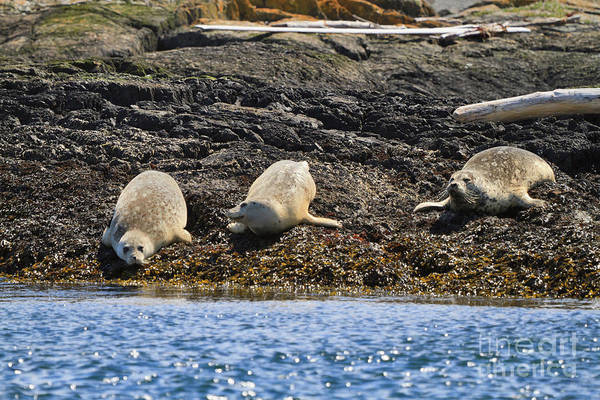 Wall Art - Photograph - Harbour Seals by Louise Heusinkveld
