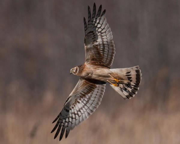 Photograph - Harrier Flash by Craig Leaper
