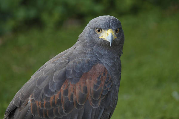 Photograph - Harris Hawk by Clare Bambers
