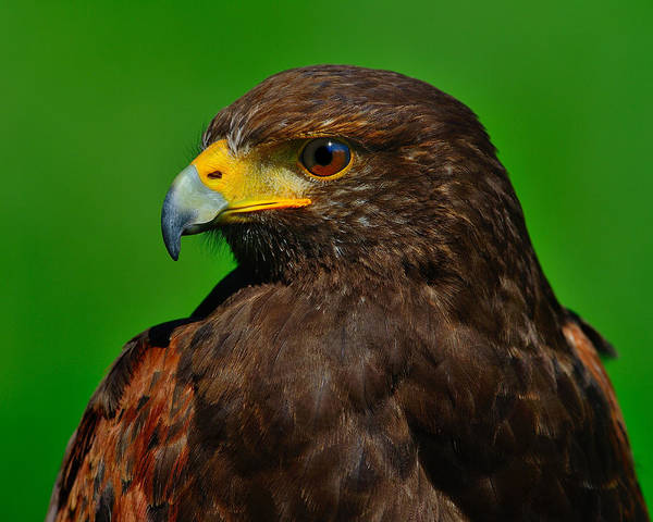 Photograph - Harris's Hawk by Tony Beck