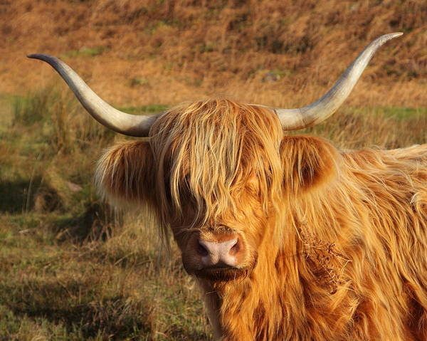 Wall Art - Photograph - Hairy Coo by Bruce J Robinson