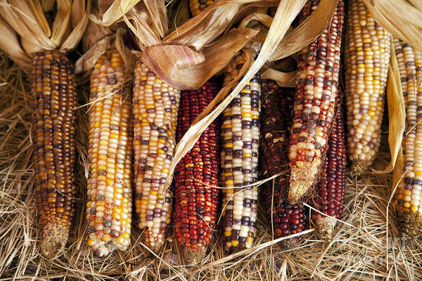 Photograph - Harvest Ears by M K Miller