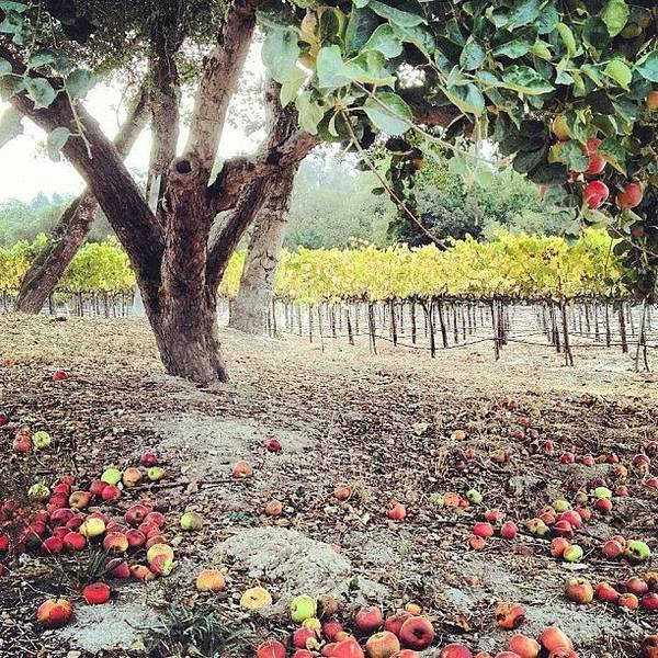 Wine Wall Art - Photograph - #harvest2012 @stilingvineyard by Eric Kent Wine Cellars