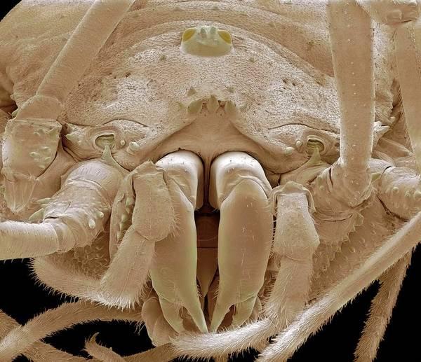 Daddy Long Legs Photograph - Harvestman Spider, Sem by Steve Gschmeissner