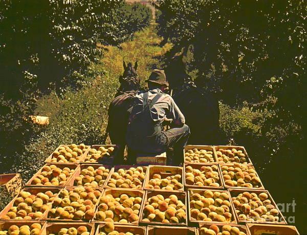 Hauling Crates Of Peaches Art Print