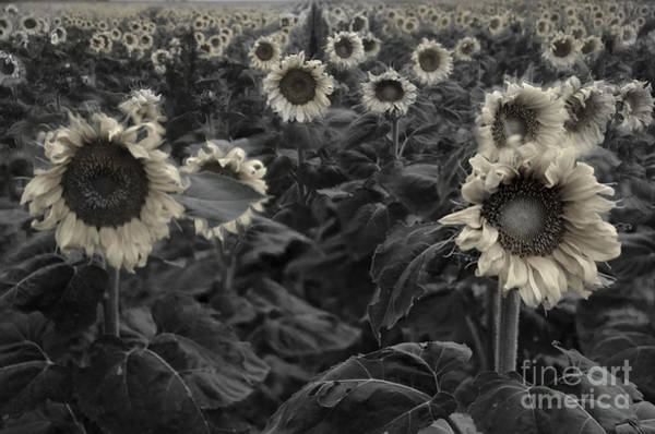 Wall Art - Photograph - Haunting Sunflower Field 3 by Dave Dilli