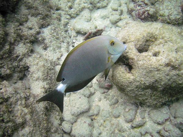 Hawaiian Fish Photograph - Hawaiian Tropical Fish P1060093 by Michael Peychich