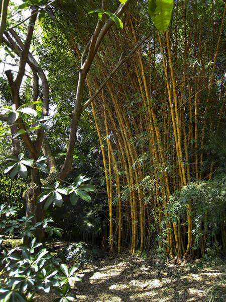 Bamboo Shoots Photograph - Hawaiian Yellow Bamboo - Big Island by Daniel Hagerman