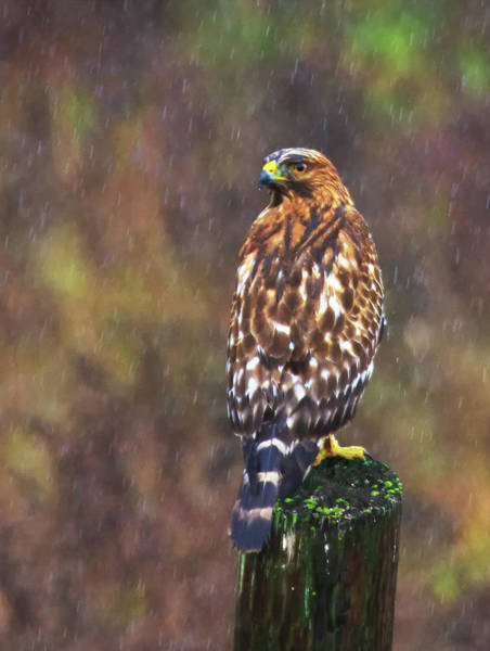 Photograph - Hawk In The Rain by Beth Sargent