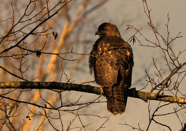 Photograph - Hawk by Lawrence Christopher