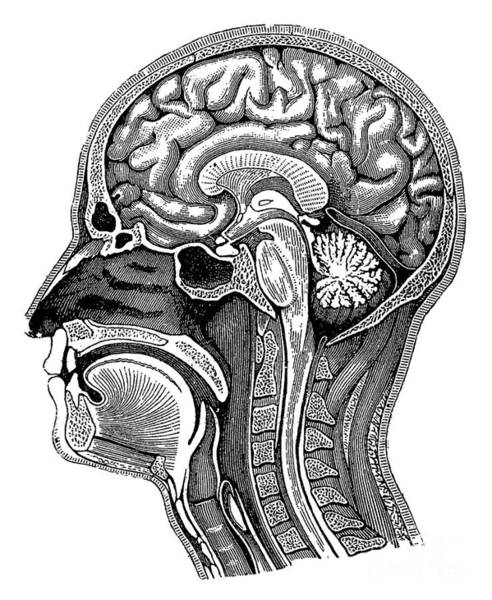Photograph - Head And Brain Anatomy by Science Source