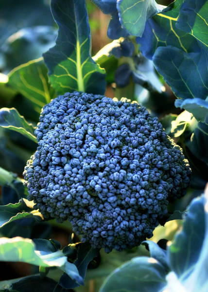 Photograph - Head Of Broccoli Forming by Angela Rath