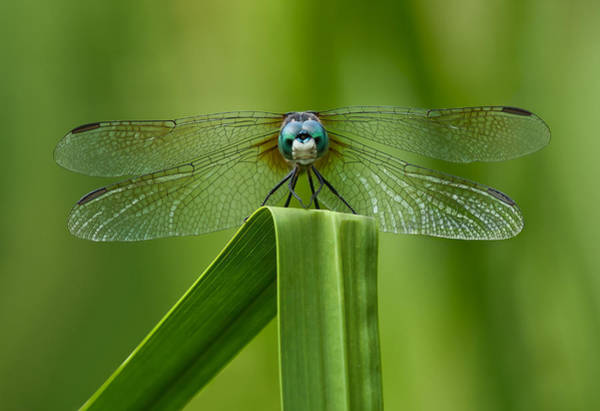 Photograph - Head On Dragonfly by Steve Zimic