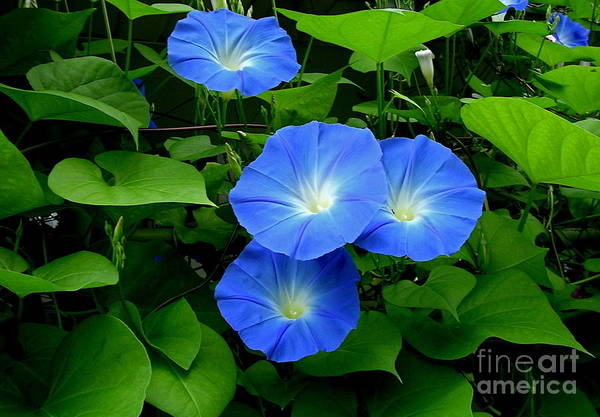 Photograph - Heavenly Blue by Byron Varvarigos