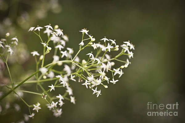 Photograph - Hedge Bedstraw Flowers by Clare Bambers