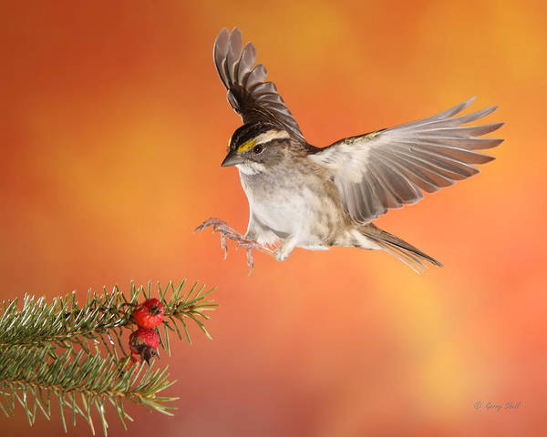 White-throated Sparrow Photograph - Here I Come by Gerry Sibell