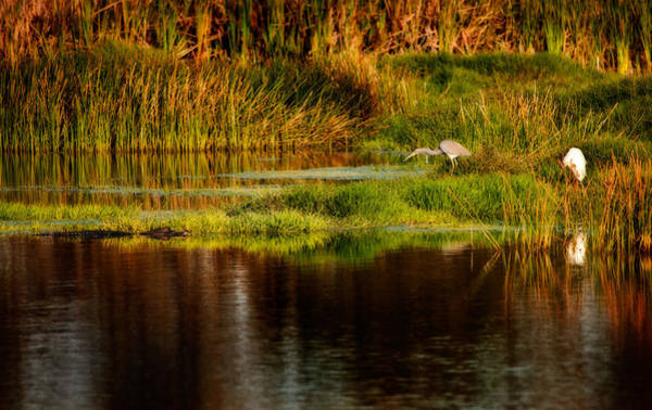 Photograph - Heron Egret And Gator by Steven Sparks