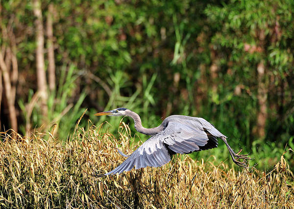 Heron Flying Along The River Bank Art Print
