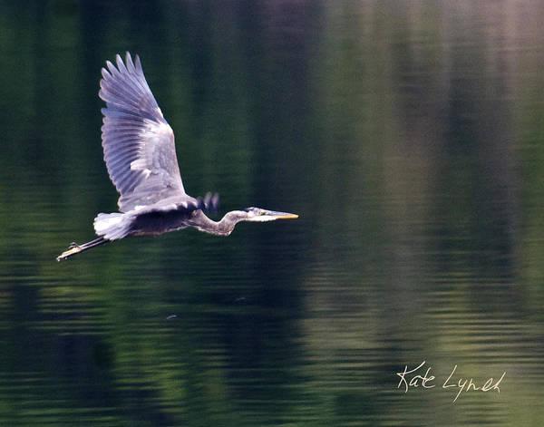 Photograph - Heron Glow by Kate Lynch