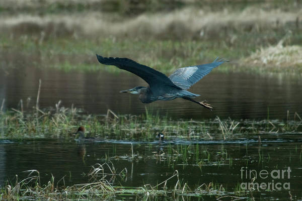 Mission Bc Photograph - Heron In Flight by Rod Wiens