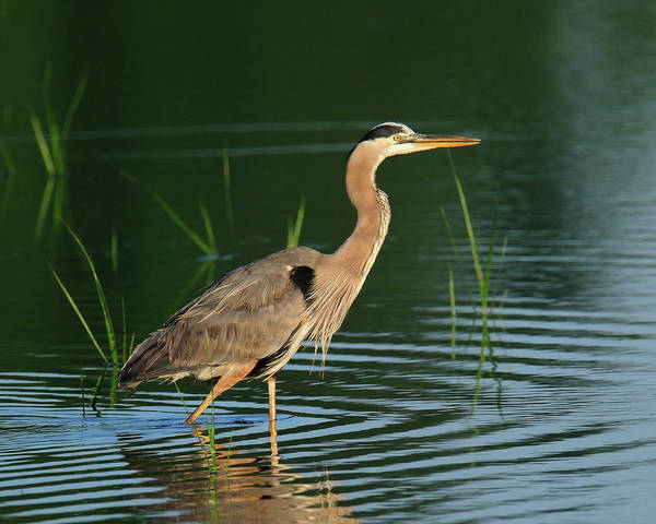 Photograph - Heron Sunrise by Craig Leaper