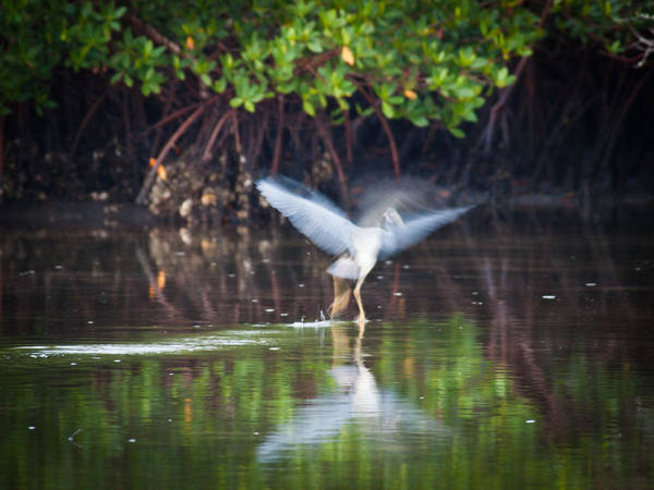 Photograph - Heron Takes Flight by Jim DeLillo