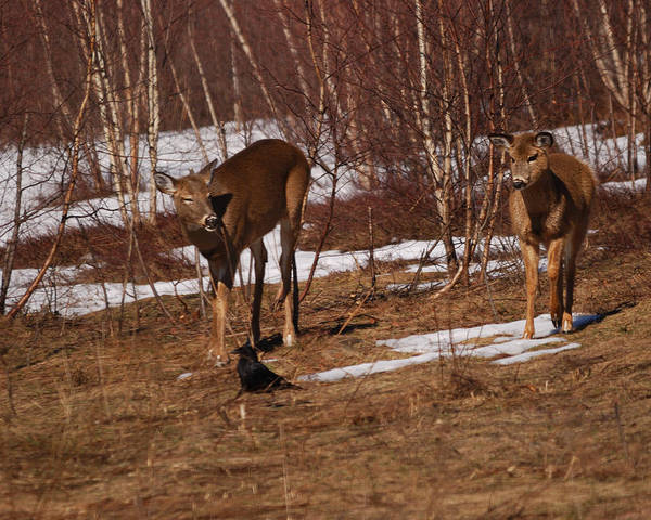 Winter Deer Photograph - Hey Mr. Raven Let's Play by Susan Capuano