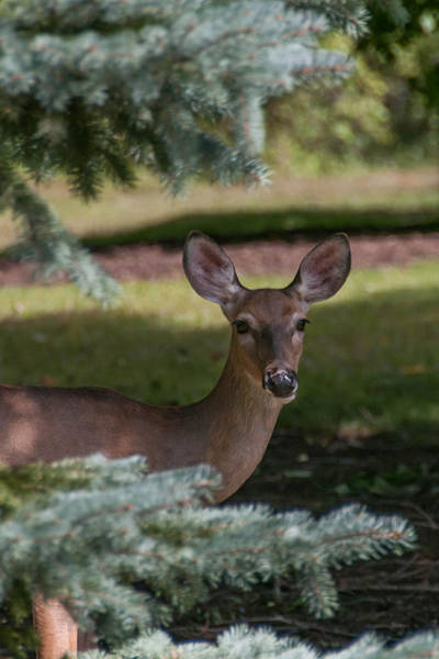 Photograph - Hi Deer by Guy Whiteley