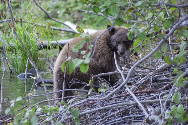 Bear Creek Photograph - Hibernation Bound by Brad Scott