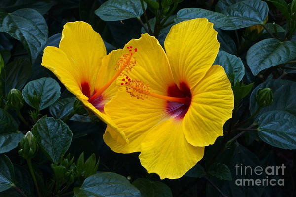 Photograph - Hibiscus Happiness by Byron Varvarigos