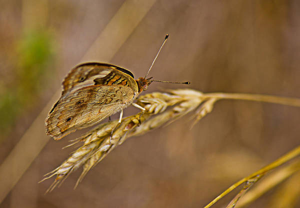Photograph - Hiding In The Wheat by Barry Jones