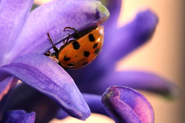 Christy Photograph - Hiding Ladybug by Christy Patino