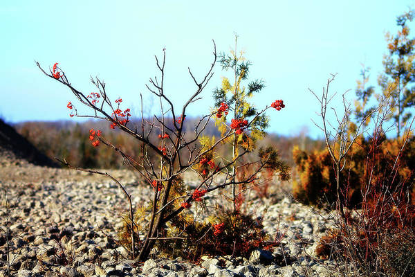 Photograph - Hilltop Orange Berries by Scott Hovind