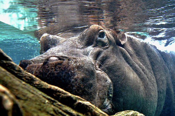 Photograph - Hippo Below by Lorraine Devon Wilke
