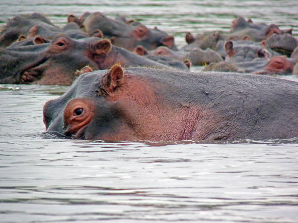 Photograph - Hippo Group In Mara River by Tony Murtagh