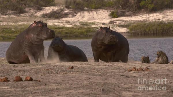 Photograph - Hippos And Baboons by Mareko Marciniak
