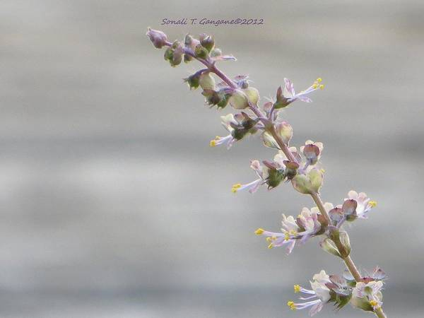 Wall Art - Photograph - Holy Basil - Tulsi Flowers by Sonali Gangane