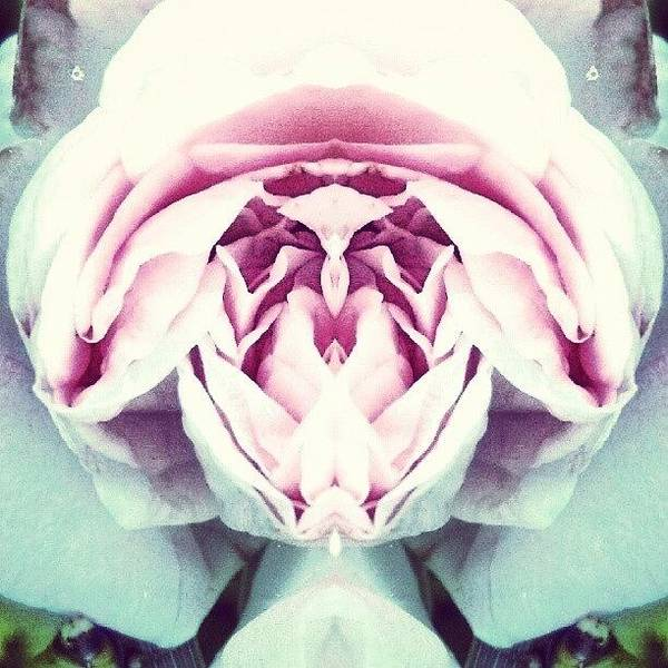 Abstract Flowers Wall Art - Photograph - Homage To Georgia O'keeffe - Pink Rose by Marianne Dow