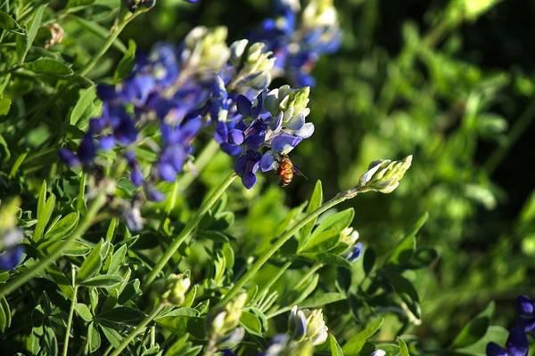 Photograph - Honey Bee On A Bluebonnet by Sarah Broadmeadow-Thomas