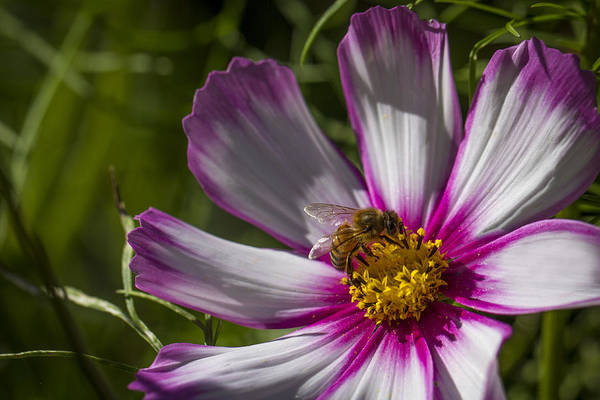 Photograph - Honey Bee On Candy Stripe Cosmos by Clare Bambers