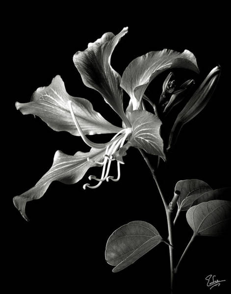 Wall Art - Photograph - Hong Kong Orchid In Black And White by Endre Balogh
