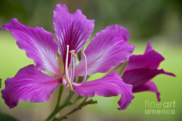 Hong Kong Orchid Photograph - Hong Kong Orchid by Leanne Lei
