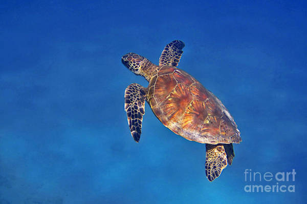 Photograph - Honu In Blue by Bette Phelan